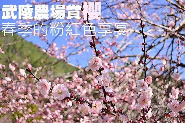 武陵農場賞櫻 春季的粉紅色享宴武陵農場賞櫻 春季的粉紅色享宴