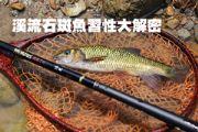 溪流石斑魚習性大解密